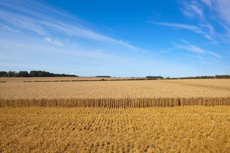 llegar tarde: un campo dorado de trigo maduro listo para ser cosechado con árboles y setos bajo un cielo azul a finales de verano Foto de archivo