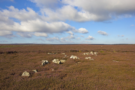 windswept: a rocky rugged moorland landscape with flowering purple heather on windswept hillsides on the north york moors