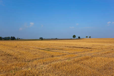 late summer: a golden stubble field at harvest time in yorkshire england under a blue sky in late summer