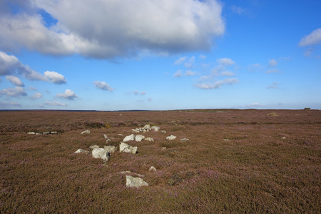 windswept: white bleached rocks in amongst purple flowering heather on the windswept moorland of the north york moors under a blue cloudy sky