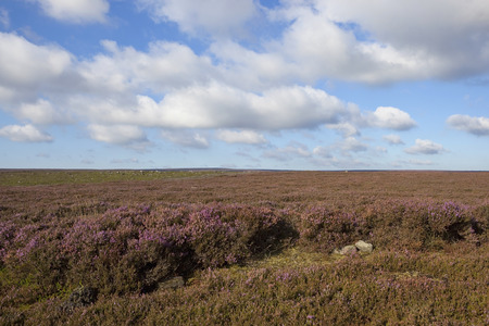 windswept: a windswept flowering heather moorland under a blue cloudy sky in autumn