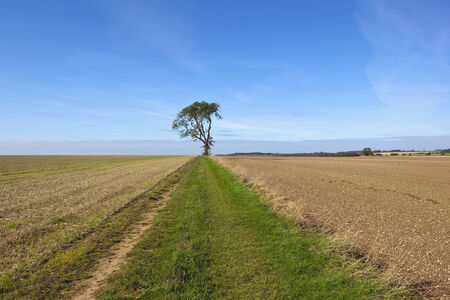 chalky: a lone ash tree beside a farm track near cultivated chalky soil in the yorkshire wolds Stock Photo
