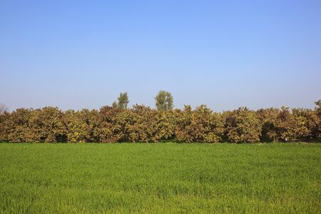 punjabi: punjabi landscape with green wheat and colorful guava trees under a blue sky