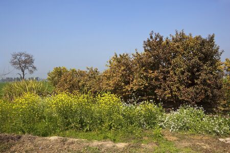 punjabi: colorful flowering mustard plants and guava trees under a blue sky in a rural punjabi landscape in india