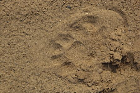 river bed: the paw prints of an indian leopard or panther latin name panthera pardus fusca in the sand of a dry river bed in Morni hills Punjab