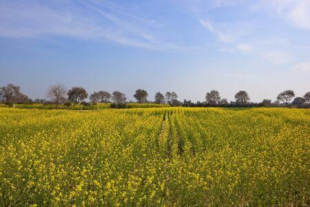 punjabi: fields of flowering mustard crops in a punjabi landscape under a blue sky Stock Photo