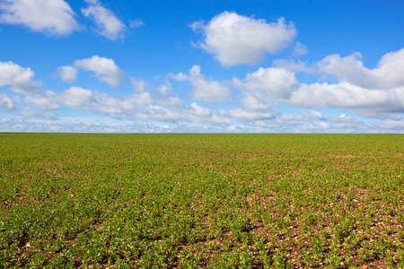chalky: a newly planted bean field with young plants in rows in chalky soil under a blue cloudy sky in springtime