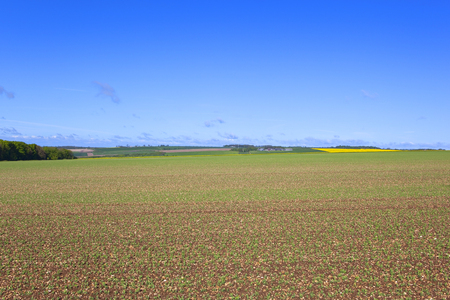 chalky: a rural pea field with young plants in chalky soil on the yorkshire wolds england under a blue sky in springtime