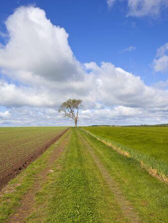 ash tree: una pista agricola e frassino solitario accanto a un campo di piselli appena piantati sul Yorkshire Wolds Inghilterra sotto un cielo nuvoloso blu in primavera
