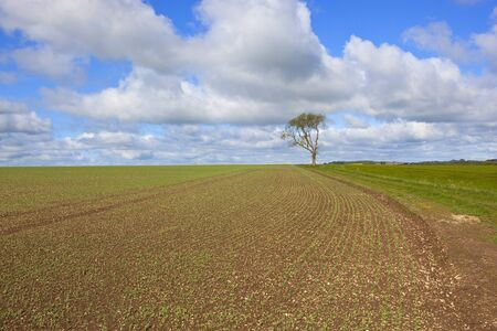 ash tree: un campo di piselli primavera appena piantati sul yorkshire wolds Inghilterra con un albero di frassino solitario e sentiero di campagna sotto un cielo nuvoloso blu