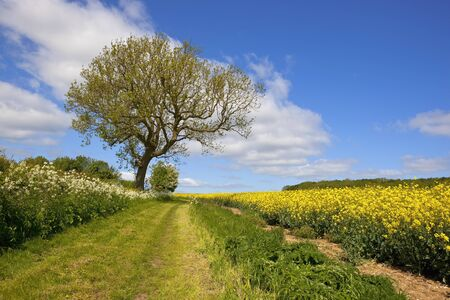 ash tree: a grassy country footpath and bridleway with an ash tree running through agricultural scenery in the yorkshire wolds england under a blue sky in summer Stock Photo