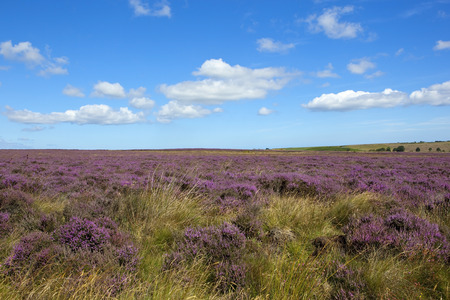 moorland: a rugged moorland landscape with purple flowering heather and grasses under a blue sky with white clouds in summer