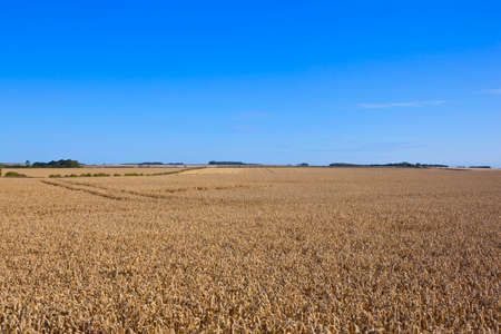 late summer: golden ripe wheat fields in the yorkshire wolds england under a blue sky in late summer Stock Photo