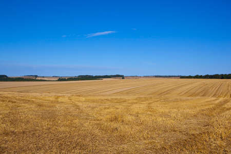 late summer: golden harvested wheat fields in the yorkshire wolds england under a blue sky in late summer