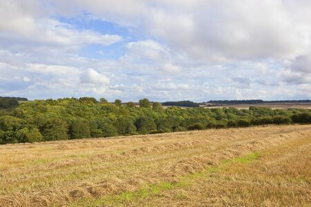 late summer: a harvested wheat field with small woodland in the yorkshire wolds england under a blue cloudy sky in late summer