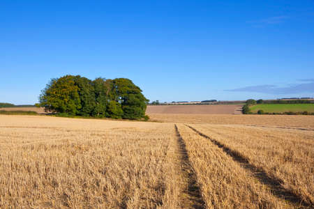 copse: a small copse in a harvested wheat field in a scenic landscape in the yorkshire wolds england under a clear blue sky