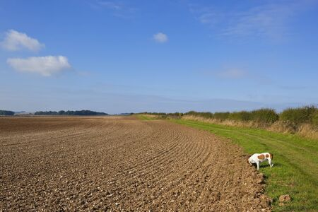 plowed field: a country bridleway with a pet brown and white dog going for a walk beside a  hawthorn hedgerow and plowed field in the yorkshire wolds england in autumn