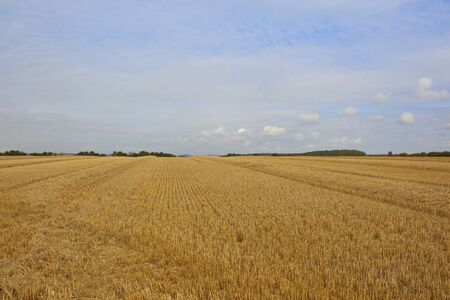 hedgerows: a newly harvested golden wheat field with hedgerows in the yorkshire wolds england in autumn