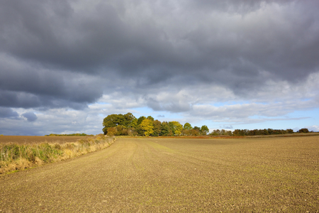 copse: a small copse in autumn in amongst agricultural land under a dramatic stormy sky in the yorkshire wolds england