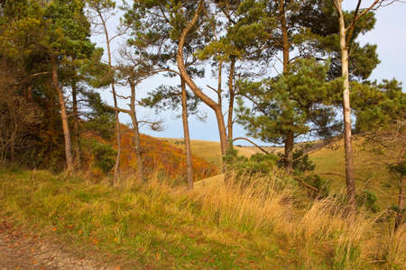 pine trees: pine trees beside a farm track with grass and fallen leaves on a hillside on a fine day in autumn in the yorkshire wolds england