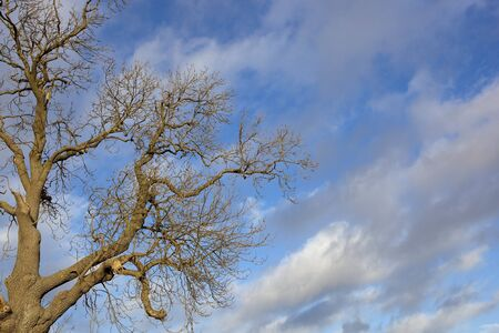 contorted: a bare winter ash tree with patterned bark and contorted branches under a blue sky with clouds