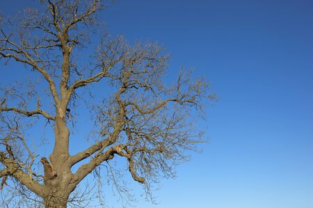 contorted: a leafless ash tree with a patterned bark and contorted branches on a blue sky background