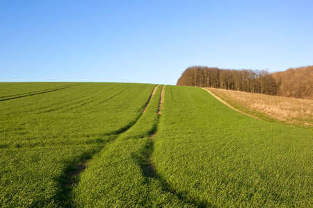 woodlands: a hillside wheat field in winter with deciduous woodlands under a clear blue sky in winter