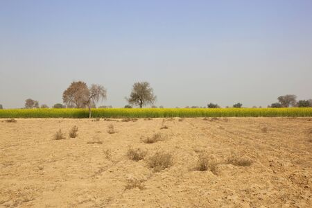 punjabi: a dusty punjabi landscape with a crop of bright yellow mustard under a blue sky in springtme