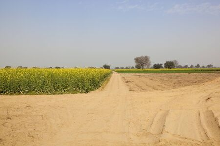 an agricultural district: dry agricultural landscape with flowering mustard crops in the arid region of abohar rural ferozepur district of rajasthan india