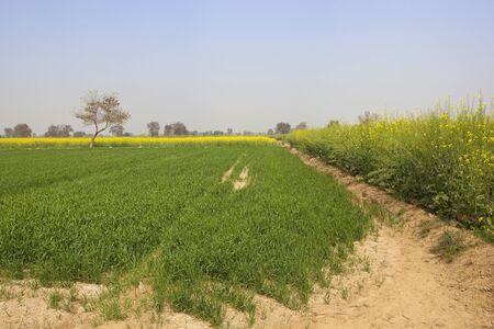 suelo arenoso: campos de trigo y mostaza con �rboles en suelo arenoso en el distrito de Rajasthan Abohar en la India bajo un cielo azul