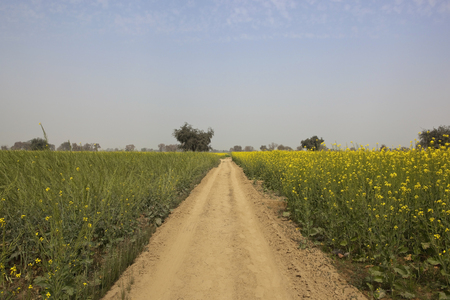 indian mustard: a dusty abohar farming landscape in the indian state of rajasthan with mustard and wheat crops under a blue sky in springtime