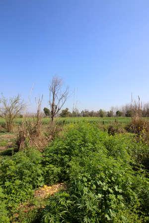 vegetation: punjabi landscape with vegetation trees and fields under a blue sky in springtime Stock Photo