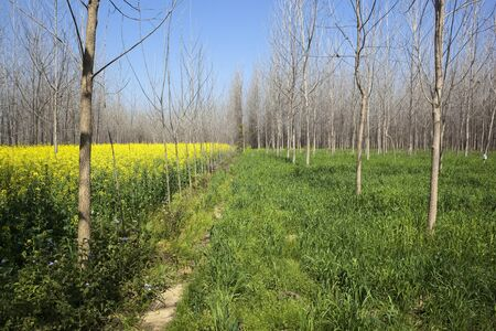 punjabi: beautiful punjabi countryside with bare poplar trees amongst mustard and wheat crops under a blue sky in springtime