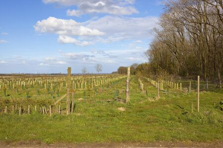 copse: a young plantation of saplings beside a woodland copse with a view of the vale of york under a blue cloudy sky in springtime
