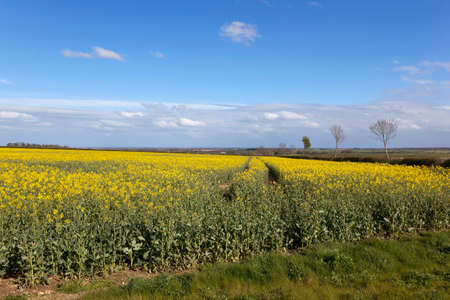 vale: a yellow flowering canola field with a view of the vale of york under a blue sky in springtime