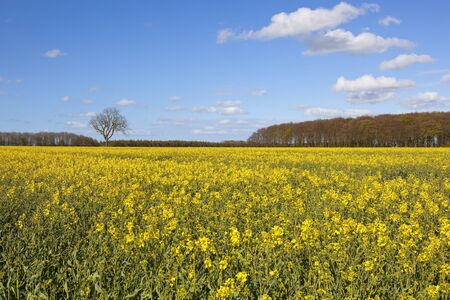 copse: a yellow flowering canola field with a springtime woodland copse under a blue cloudy sky in the yorkshire wolds