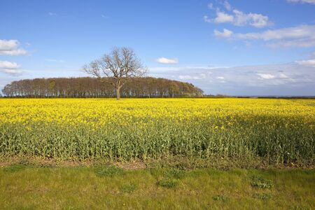vale: a flowering yellow canola field with a woodland copse in springtime and a view of the vale of york under a blue sky