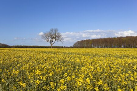 woodlands: a bright yellow flowering oilseed rape crop with surrounding woodlands under a blue sky in springtime