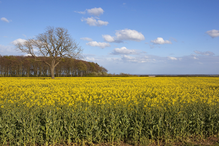 copse: yorkshire wolds oilseed rape crop in flower with a woodland copse and ash tree overlooking the vale of york with wind turbines under a blue sky