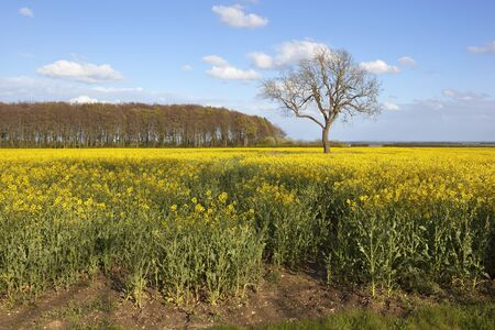 vale: flowering oilseed rape crop with woodland and a lone ash tree with a view of the vale of york under a blue sky in springtime