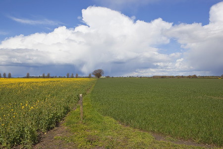 oilseed: oilseed rape and wheat crops under a dramatic sky with rain showers and fluffy white clouds in springtime