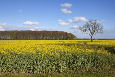 copse: a yellow flowering oilseed rape crop with a woodland copse and a lone ash tree under a blue sky in springtime