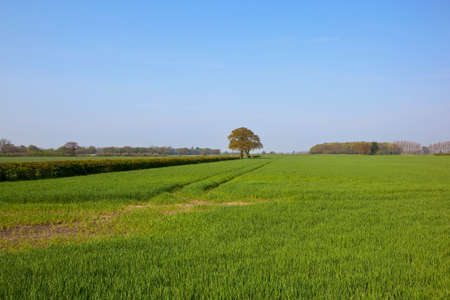 copse: springtime wheat fields in yorkshire with hawthorn hedgerows and a small copse under a blue sky