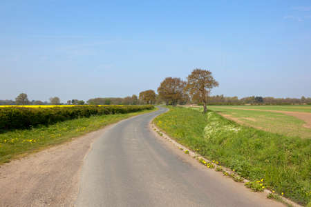 english oak: an english country lane winding through wheat and oilseed rape crops under a blue sky in springtime