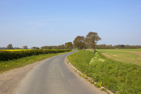 english oak: a rural lane winding through wheat and oilseed rape crops with oak trees under a blue sky in springtime