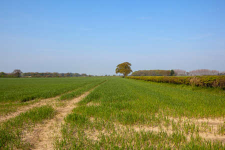 hedgerows: young wheat fields in yorkshire with oak trees and hawthorn hedgerows under a blue sky in springtime Stock Photo