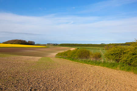 woodlands: cultivated chalky soil in the yorkshire wolds england with woodlands and canola crop under a blue sky in springtime Stock Photo