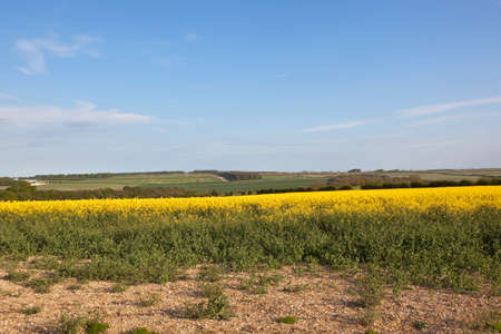 hedgerows: canola crop and chalky soil with hills and hedgerows in the yorkshire wolds