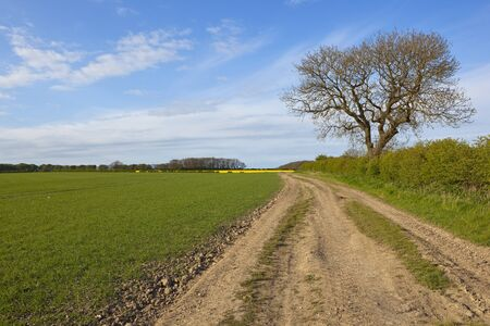 ash tree: a country farm track beside wheat and oilseed rape crops with a lone ash tree in the yorkshire wolds england