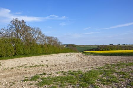 chalky: a chalky hillside field with wheat and canola crops in the yorkshire wolds england under a blue sky